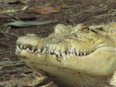 crocodile-2166803_960_720